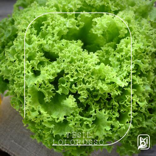 Yeşil Lolorosso (1 Adet)